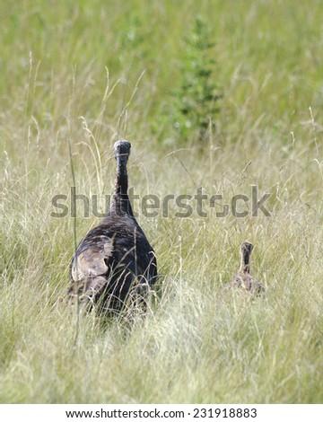 turkey family - stock photo