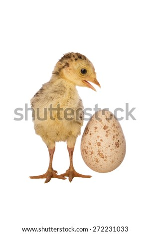 Turkey poult with egg isolated on white - stock photo