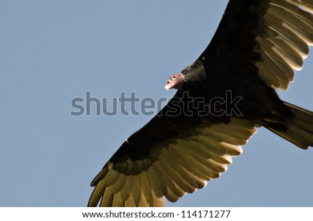 Turkey Vulture Flying in a Blue Sky - stock photo