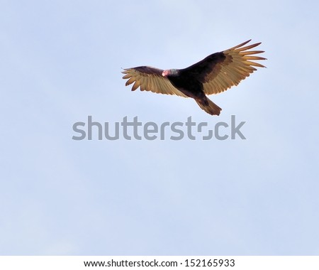 Turkey Vulture in flight looking for prey. - stock photo