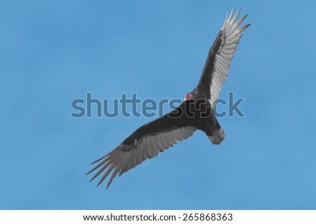 Turkey Vulture soaring in the hazy sky. - stock photo