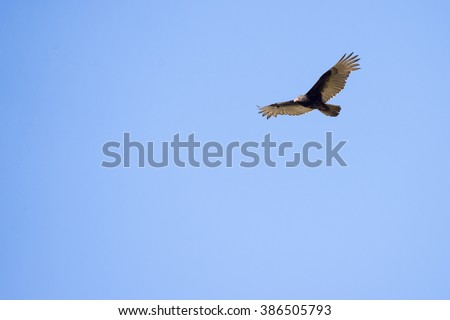 Turkey Vulture soaring, showing long wingtip feathers - stock photo