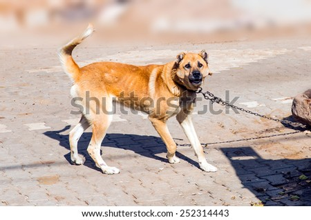 Turkish sheepdog  in attack posture and barking  - stock photo