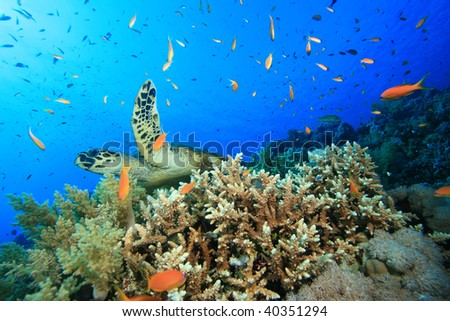 Turtle and Coral Reef - stock photo