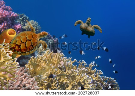 Turtle and Yellow Tube Sponges - stock photo