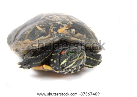 turtle as princess isolated on the white background - stock photo