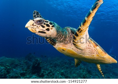 Turtle close up in bali - stock photo