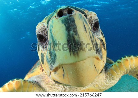 Turtle: Close up of Hawksbill Sea Turtle's face - stock photo