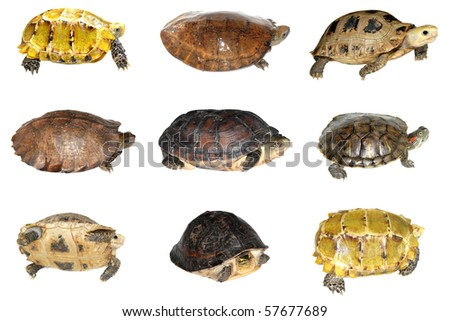 turtle collection isolated in white background - stock photo