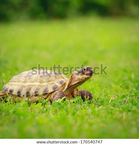 Turtle crawling on a grass, selective focus shallow depth of field - stock photo