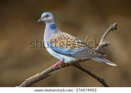 Turtle dove (Streptopelia turtur) perched on a branch and looking out for danger - stock photo