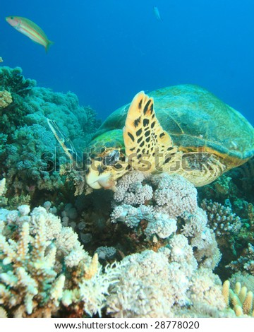 Turtle eating Coral - stock photo
