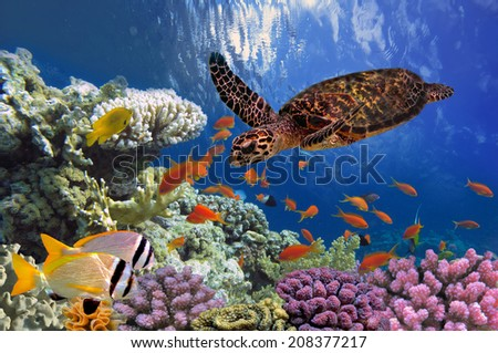 Turtle - Eretmochelys imbricata floats under water. Red Sea, Egypt - stock photo