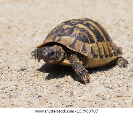 Turtle, Hermann's Tortoise, turtle on sand, testudo hermanni - stock photo