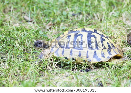 Turtle in a Natural Environment. Testudo Hermanni, Hermann's Tortoise. - stock photo