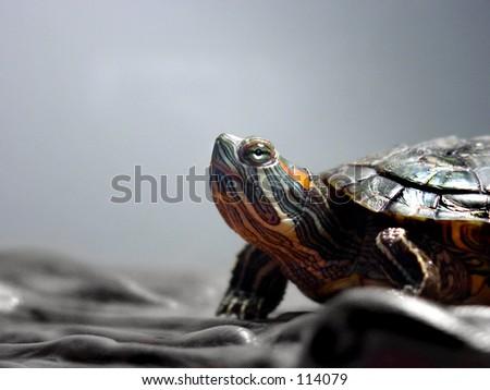 Turtle in an aquarium. - stock photo