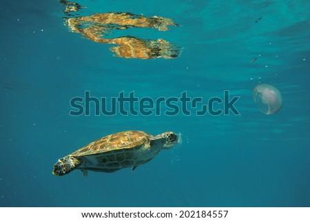 Turtle in ocean - stock photo