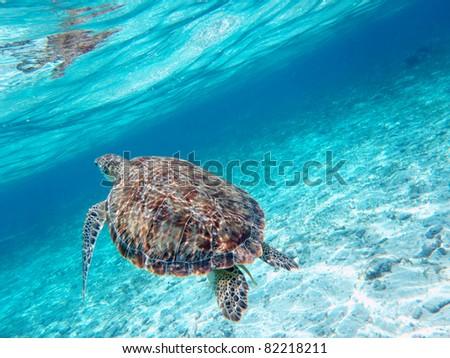 Turtle in sea - stock photo