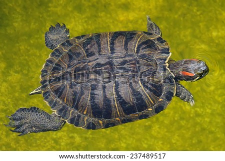 Turtle in water - stock photo