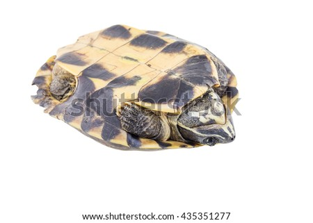 Turtle isolated on a white background - stock photo