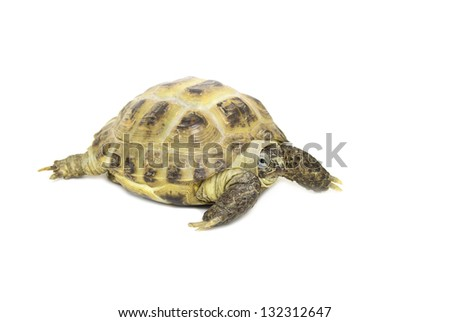 Turtle on a white background - stock photo