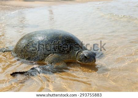 Turtle on the wild beach. Sri Lanka island - stock photo