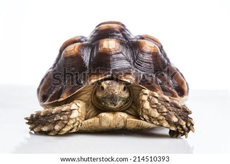 Turtle on white background - stock photo