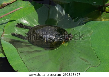 Turtle relaxing in the leaf  water lily - stock photo