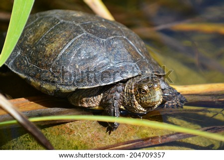 Turtle sitting on a rock and plants in water. - stock photo