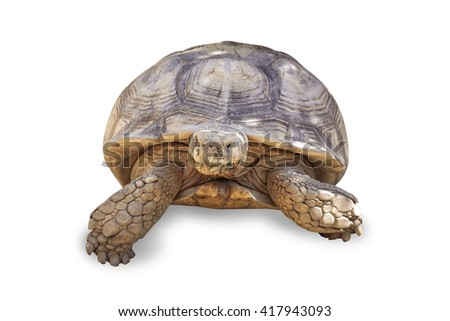 Turtle,Sulcata tortoise, African spurred tortoise (Geochelone sulcata),isolated on white background, with clipping path - stock photo
