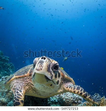 Turtle swimming toeards camera portrait. Underwater view with animal in close-up and sea full of small fish in the background. Square. - stock photo