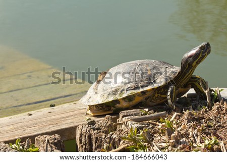 Turtle taking sunbath on a wooden platform by the pond - stock photo