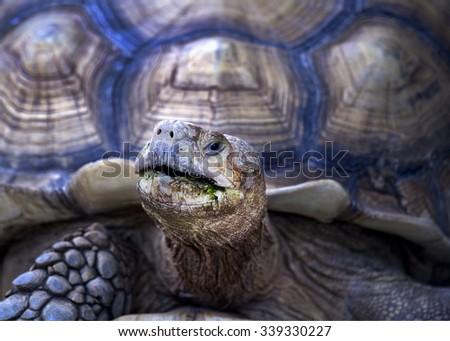 Turtle tortoise Turtle, Sulcata , African spurred  (Geochelone sulcata) - stock photo