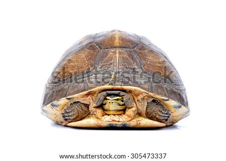 turtle tortoise  white background - stock photo