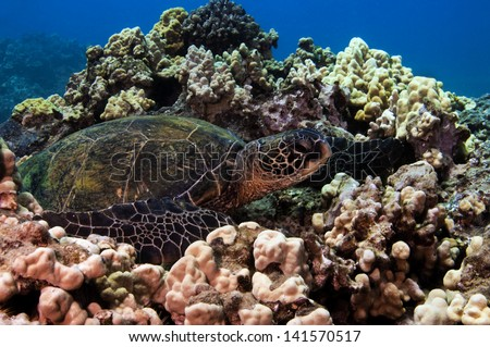 Turtle town in Hawaii is a popular place for green sea turtles and eco tourists alike - stock photo