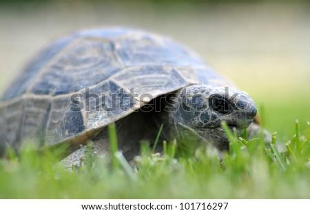 Turtle , turkey alanya - stock photo