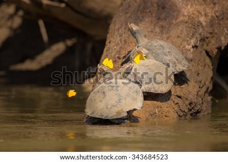 Turtle/turtle/peru - stock photo