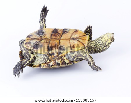 Turtle upside down on its back isolated on white - stock photo