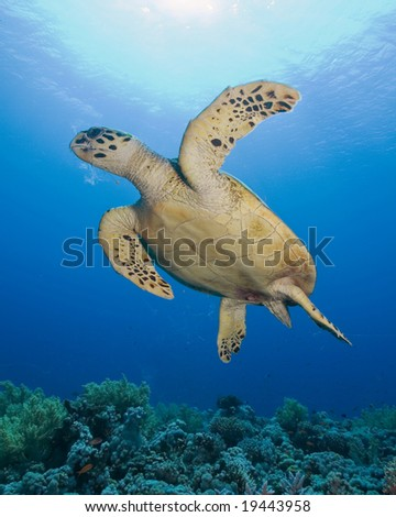 Turtle with sun in background - stock photo