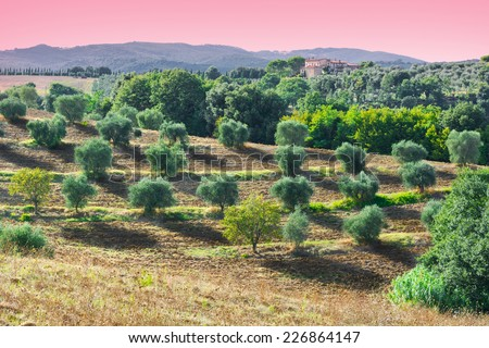 Tuscan Landscape with Olive Groves at Sunset in Italy - stock photo