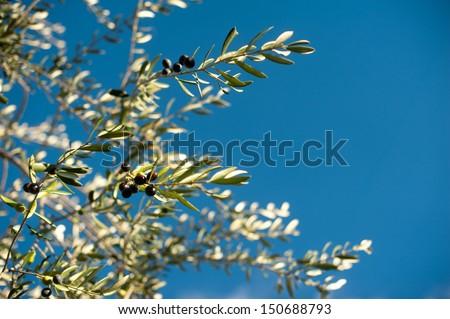 Tuscan Olive Tree - stock photo