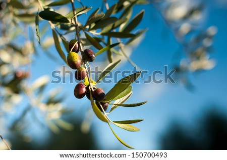 Tuscan Olive Tree / Olives in various stages of ripening. Soft focus background.  - stock photo
