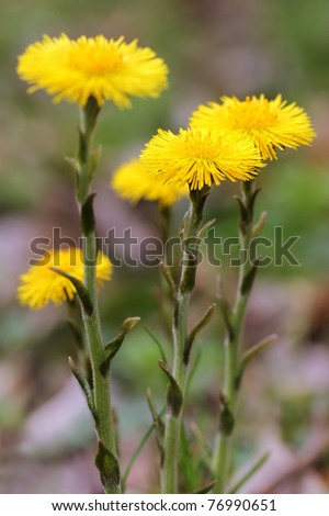 Tussilago farfara, commonly known as Coltsfoot - stock photo