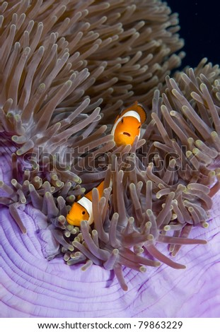 Twe Anemonefish on a purple anemone on a reef off Bali, Indonesia - stock photo