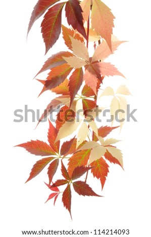 Twig ivy, colors of autumn - stock photo