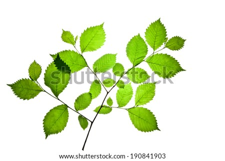 Twig of elm with green toothed leaves isolated on white    - stock photo