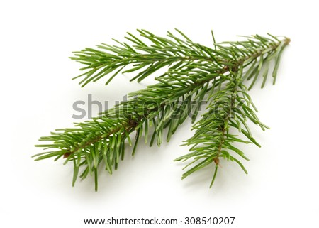 Twig of evergreen fir on white background - stock photo