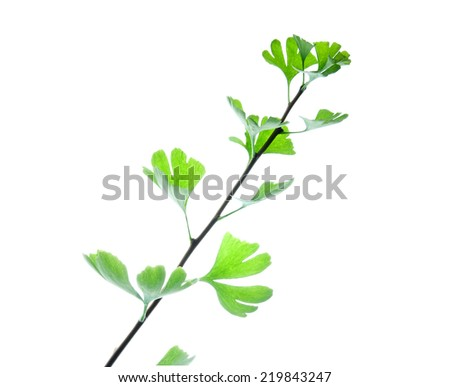 Twig of ginkgo biloba  tree with green leaves isolated on white  - stock photo