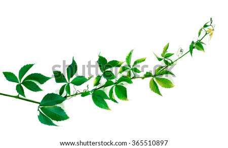 Twig of grapes leaves. Parthenocissus quinquefolia foliage. Isolated on white background. - stock photo