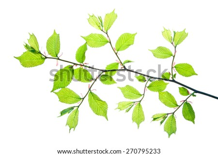 Twig of hazel with young green leaves isolated on white    - stock photo